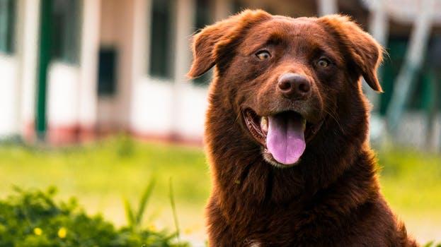 Hundetræning voksen